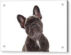 French Bulldog Closeup Acrylic Print by Susan Schmitz