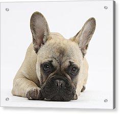 French Bulldog Acrylic Print by Mark Taylor