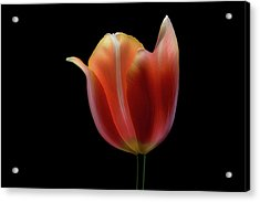 French Tulip Acrylic Print