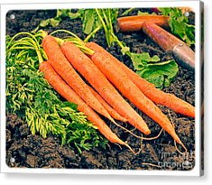 Fresh Carrots From The Garden Acrylic Print