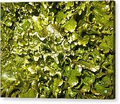 Fresh Romaine Acrylic Print by Sherry Dooley