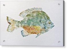 Freshwater Bluegill Acrylic Print by Nancy Gorr