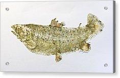 Freshwater Brown Trout Acrylic Print by Nancy Gorr
