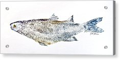 Freshwater Jumping Mullet Acrylic Print by Nancy Gorr