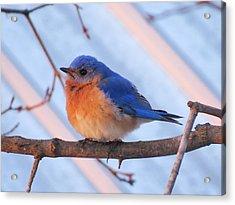 Friendly Bluebird Acrylic Print by David Lankton
