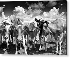 Friendly Cows  Acrylic Print by Tim Gainey