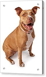 Friendly Pit Bull Acrylic Print by Susan Schmitz