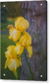 Friendly Yellow Irises Acrylic Print by Omaste Witkowski