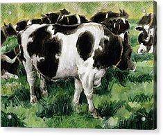 Friesian Cows Acrylic Print by Gareth Lloyd Ball