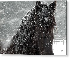 Friesian Snow Acrylic Print by Fran J Scott