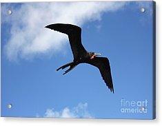 Frigate Bird In Flight Acrylic Print by Sophie Vigneault