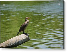 Frigate Bird Watching Estuary Acrylic Print by Christine Till
