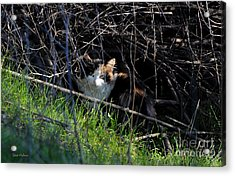 Frightened Feral Calico  Acrylic Print