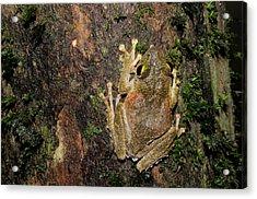 Frilled Tree Frog Acrylic Print