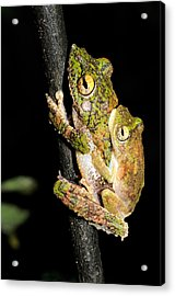 Frilled Tree Frogs Mating Acrylic Print