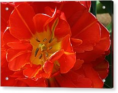Frilly Tulip Acrylic Print by Bruce Bley