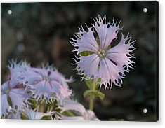 Acrylic Print featuring the photograph Fringed Catchfly by Paul Rebmann