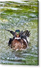 Frisky - Wood Duck Acrylic Print