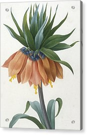 Fritillaire Imperiale Acrylic Print by Pierre Joseph Redoute
