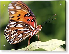 Fritillary Butterfly Acrylic Print by Pamela Gail Torres