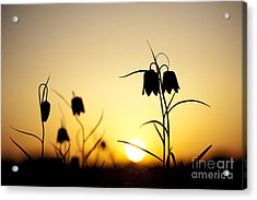 Fritillary Flower Sunset Acrylic Print by Tim Gainey