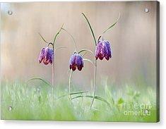 Fritillary Morning Acrylic Print by Tim Gainey