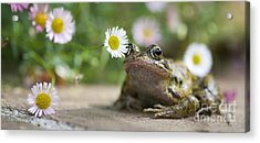 Frog And The Daisy  Acrylic Print by Tim Gainey