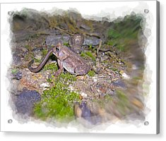 Frog Eating A Worm Acrylic Print