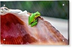 Frog In A Cockle Acrylic Print