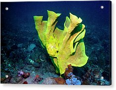 Frogfish Camouflaged On Sponge Acrylic Print by Georgette Douwma