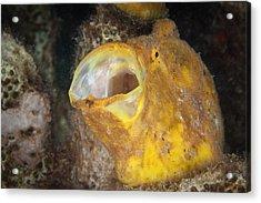 Frogfish Acrylic Print