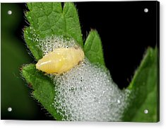 Froghopper Nymph And Cuckoo-spit Acrylic Print by Nigel Downer