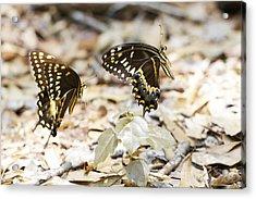 Frolicking Butterflies Acrylic Print