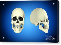 Front View And Side View Of Human Skull Acrylic Print by Stocktrek Images