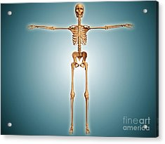 Front View Of Human Skeletal System Acrylic Print by Stocktrek Images
