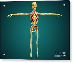 Front View Of Human Skeleton Acrylic Print by Stocktrek Images