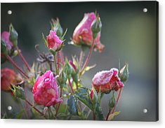 Frost Kissed Roses Acrylic Print by Katie Wing Vigil