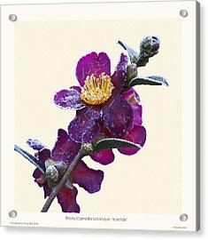 Frost On Camellia Sasanqua 'yuletide' Acrylic Print by Saxon Holt