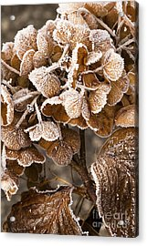 Frosted Hydrangea Acrylic Print by Anne Gilbert