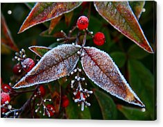 Frosted Nandina Leaves Acrylic Print by Kathryn Meyer