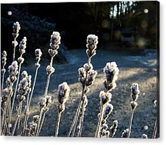 Frosted Acrylic Print by Ronda Broatch