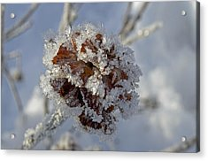 Frosted Willow Rose Acrylic Print by Cathy Mahnke