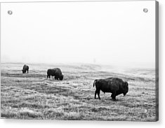 Frosty Bison Acrylic Print by Mark Kiver