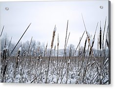Frosty Cattails Acrylic Print