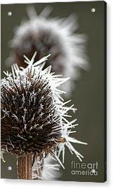 Frosty Coneflowers Acrylic Print