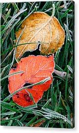 Frosty Leaves Acrylic Print by Elena Elisseeva