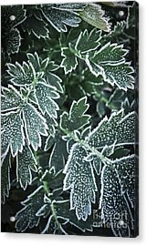 Frosty Leaves In Late Fall Acrylic Print by Elena Elisseeva