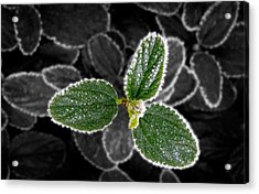 Frosty Leaves Acrylic Print