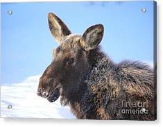 Frosty Moose Acrylic Print