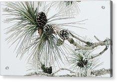 Frosty Pine Cones Acrylic Print by Carolyn Reinhart